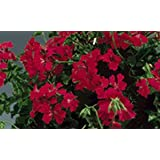 Geranium - Ivy Tornado Red 100 seeds