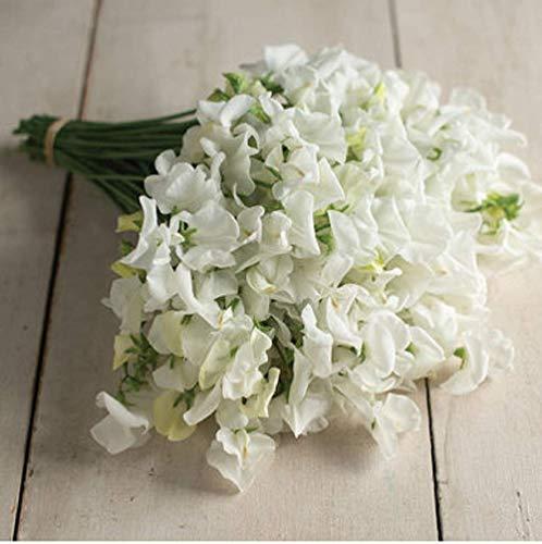 - David's Garden Seeds Flower Sweet Pea Royal Wedding GH4587 (White) 50 Non-GMO, Open Pollinated Seeds