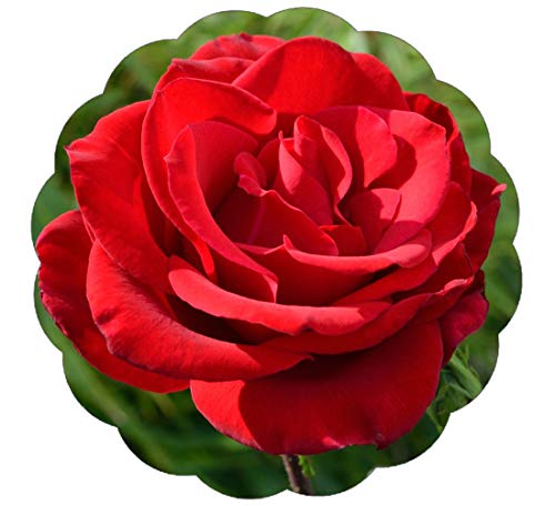 Stargazer Perennials Olympiad Rose Plant - Repeat Blooms Red Flowers Great Cutting Rose Own Root ()