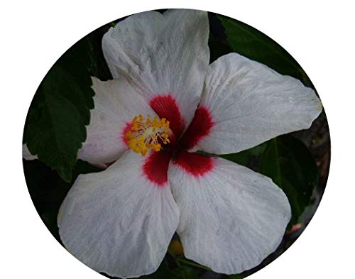 HAWAIIAN DOT Tropical Hibiscus Live Plant Single Pinwheel