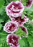 Black Currant Whirl Hollyhock Seeds (Alcea Rosea) 30 Seeds UPC 646263362051