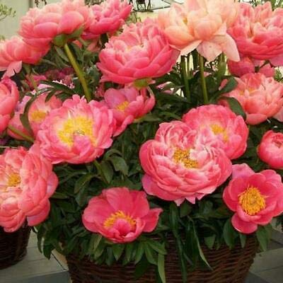 (2 Peony Coral Sunset Salmon Color Fragrant Flower Bulb Perennial Summer Plant Fresh Beauty)