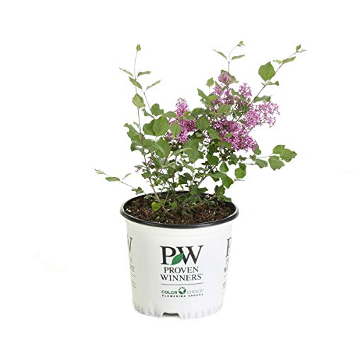 - 1 Gal. Bloomerang Dark Purple Reblooming Lilac (Syringa) Live Shrub, Purple Flowers
