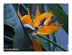 Strelitzia reginae - Bird of Paradise Flower - 3 seeds