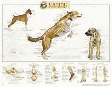 Canine Anatomy, Complete Set of 3 Charts. Buy the Set and SAVE!