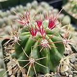 1 Ferocactus stainesii pilosus Cactus Cacti Succulent Real Live Plant