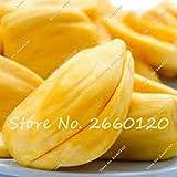 PlenTree 2 pcs A Lot Fresh Fruit Rare Tree Delicous Miracle Fruit Pot Garden New Biging for Pot