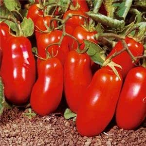 TOMATE, San Marzano TOMATE SEED, orgánico, no MG, 25 semillas por