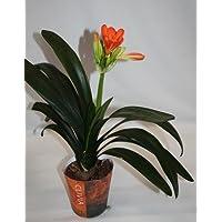 Clivia (maceta 13 cm Ø) - Planta viva de interior