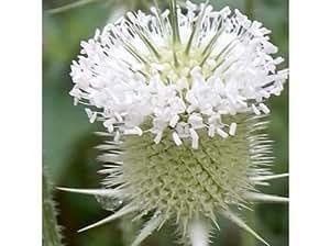 50+ WHITE TEASEL FLOWER SEEDS / PERENNIAL /FRESH & DRIED ARRANG / DEER RESISTANT