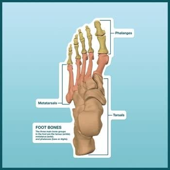 Amazon Com Dss Peel Stick Dry Erase Anatomical Charts Foot Bone Groups Chart Labeled Health Personal Care