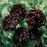 Outsidepride Peony Black - 5000 Seeds