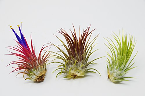 3 Ionantha Guatemala Air Plants / FREE Care Guide / Blooms 3 Times a Year!