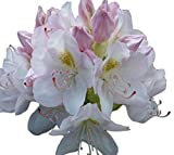 Cat Album White Rhododendron - Live Plant - Quart Pot