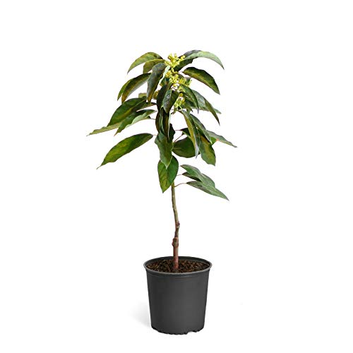 Cold Hardy Avocado Tree - (Mexicola Grande) - Get Delicious Avocados Year Round from This Fruit Tree by Brighter Blooms Nursery - 2-3 ft. | Cannot Ship to AZ