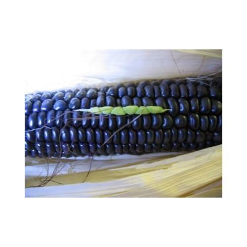 #1268GIANT BLUE CORN 35 seeds 16'-24'ft. RARE #1268