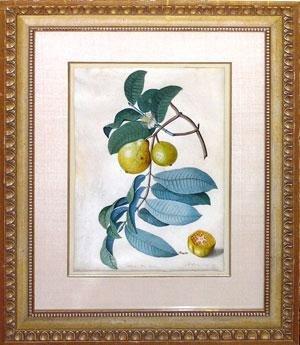Guava alba ducis (sweet white guava)
