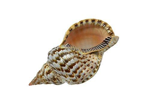 Extra Large Triton Decorative Shell Seashell 8-9