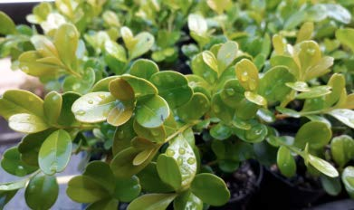 Buxus microphylla Japonica, Japanese Boxwood, 2'' Size Pot, Quantity 24, Evergreen by Divine Botanicall