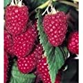 Heritage Raspberry Seed Pack