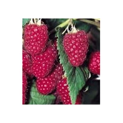 Hot Heritage Raspberry Seed Pack for cheap
