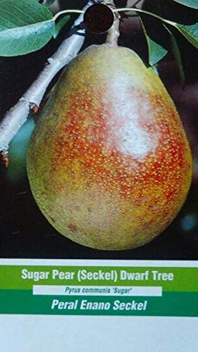 (4'-5' Sugar PEAR (Seckel) Dwarf Tree New Plant Healthy Fruit Trees Pears Plants)