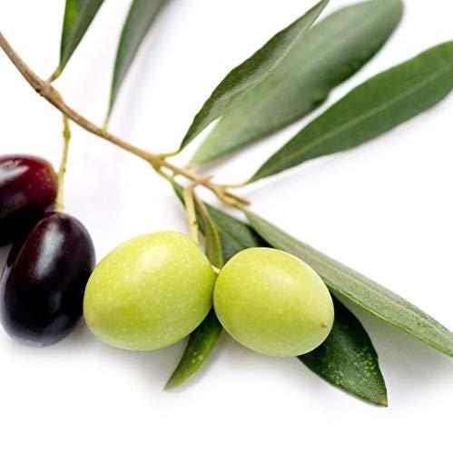 2 Plant Leccino,Olea europaea Olive Tree Food Garden Drought Tolerant tkspring
