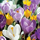 40 Jumbo Crocus Mixture Bulbs-- Fall Planting!
