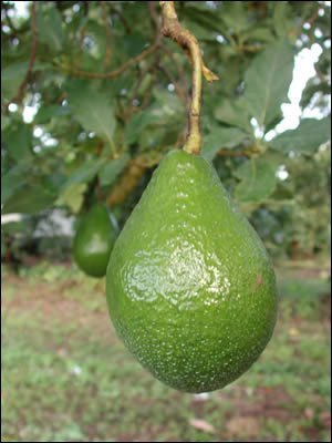 Avocado – Sunset Groves – Farm to Table – Picked Fresh – 4 Count by Sunset Groves (Image #2)'