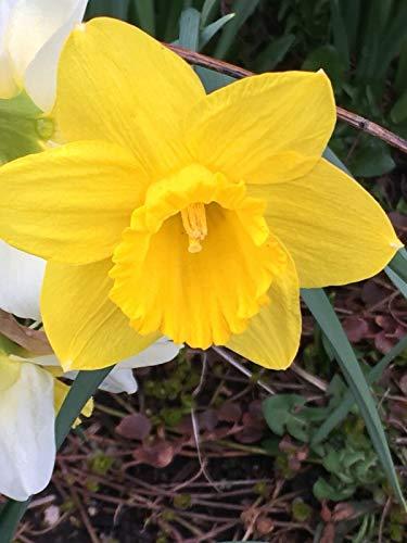1 Bulb Hardy Perennial Flowers Dutch Master Trumpet Daffodil Flower Bulb Planting