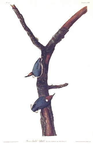 Brown headed Nuthatch.''The Birds of America'' (Amsterdam Edition) Pl. 125 by