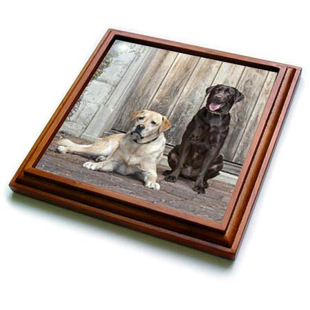 (3dRose Danita Delimont - Dogs - Yellow and Chocolate Labrador Retrievers sitting on rock patio - 8x8 Trivet with 6x6 ceramic tile (trv_314733_1))
