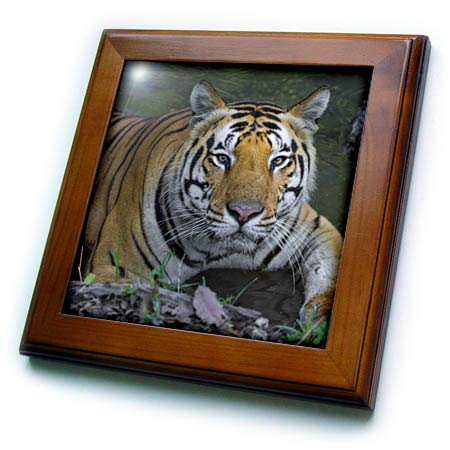 - 3dRose Danita Delimont - Tigers - India. Male Bengal Tiger Enjoys The Cool of a Water Hole. - 8x8 Framed Tile (ft_312711_1)