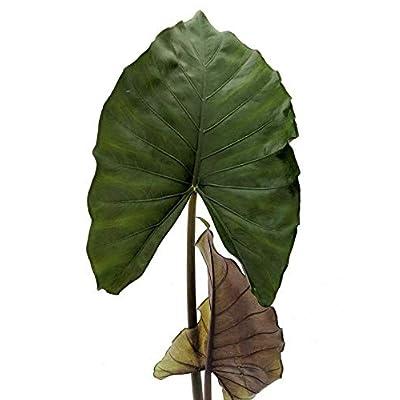 AchmadAnam - Live Plant - Elephant Ear Alocasia Sumo 3-Inch Deep Pot Houseplant Garden : Garden & Outdoor