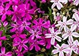 Pink and White Phlox Mix