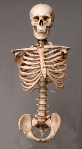 Skeleton Torso with Skull- life-size- 2nd class- AGED version -