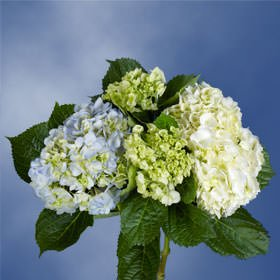 GlobalRose 20 Fresh Cut Assorted Colors Hydrangeas - Fresh Flowers For Weddings or Anniversary. by GlobalRose (Image #5)