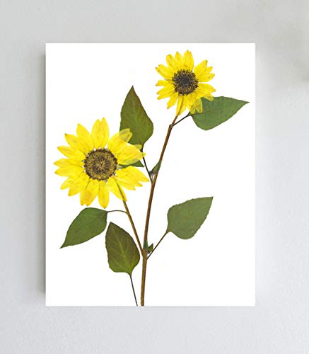 (Sunflower Botanical Print - Pressed Sunflower Wall Art - Unframed Giclee Print - 5X7, 8X10 or 11X14)