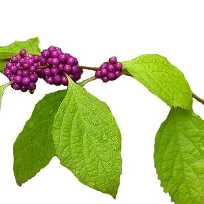 American Beautyberry Bush Seeds (Callicarpa Americana) 35+Seeds : Garden & Outdoor