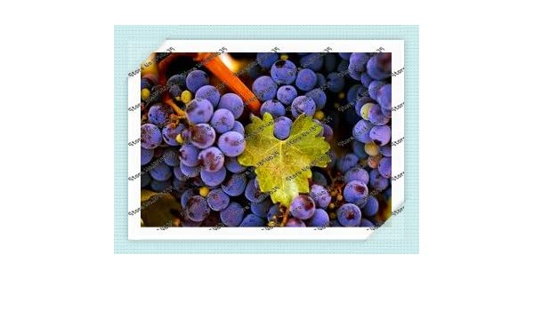 50pcs semillas de uva semillas de uva negro bonsai de la ...
