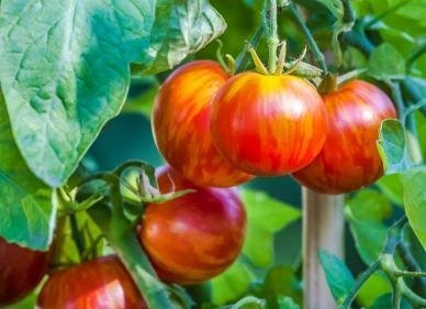 David's Garden Seeds Tomato Slicing Tigerella DGSOM153 (Red) 100 Heirloom Seeds