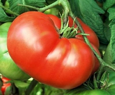 50 Tomato Seeds Mortgage Lifter Slicer Tomato Seeds INDETERMINATE 85 days (Indeterminate Tomato Plants)
