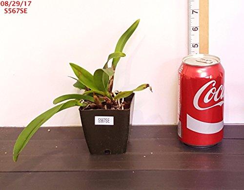 Orchid BIN RM1315 Pot Mem. Jim Nickou 'James'...............