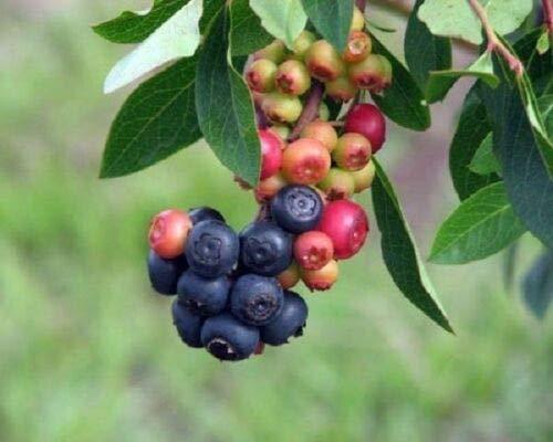 Live Plant Blueberry Summer Sunset Vaccinium Rabbiteye Fruit Plant Graga01
