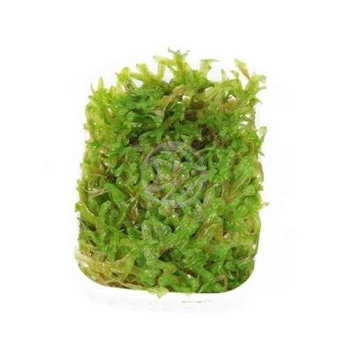 Круглая пелия / Monoselium pelia - живое аквариумное растение