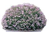 Lilac Dwarf Korean> Syringa meyeri 'Palibin'> Landscape Ready 2 Gallon Container
