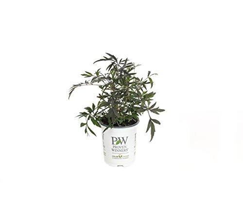 Black Lace Elderberry (Sambucus) Live Shrub, Pink Flowers, 4.5 in. Quart by Proven Winners (Image #12)