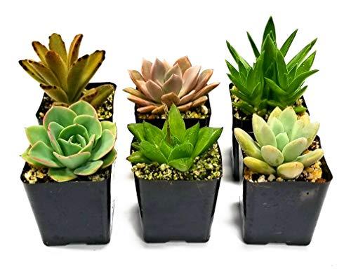 Fat Flowers - Fat Plants San Diego Miniature Living Succulent Plants in Plastic Planter Pots with Soil