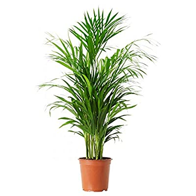 AMERICAN PLANT EXCHANGE Areca Palm Indoor/Outdoor Live, 1 Gallon, Clean Air