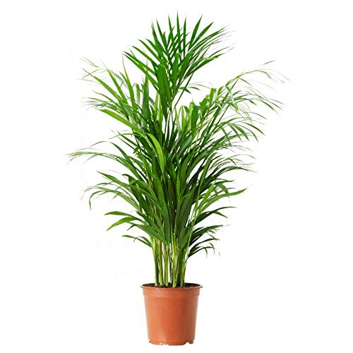 AMERICAN PLANT EXCHANGE Areca Palm Indoor/Outdoor Live, 1 Gallon, Clean Air by AMERICAN PLANT EXCHANGE